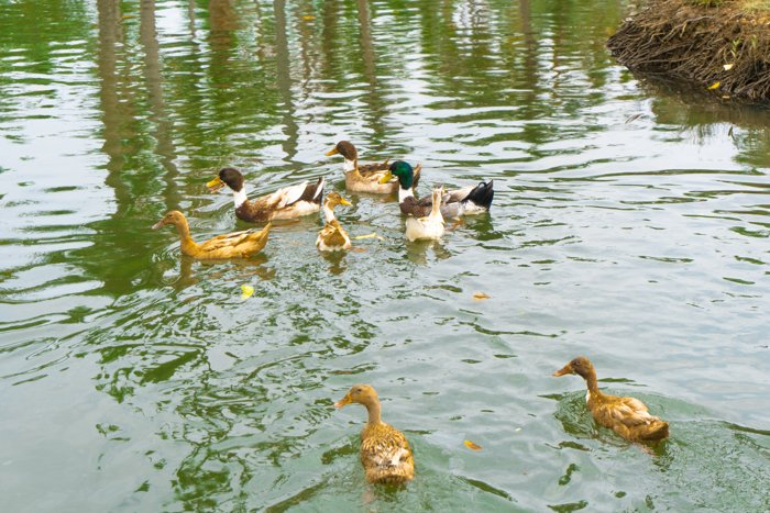 Munroe thuruthu ducks