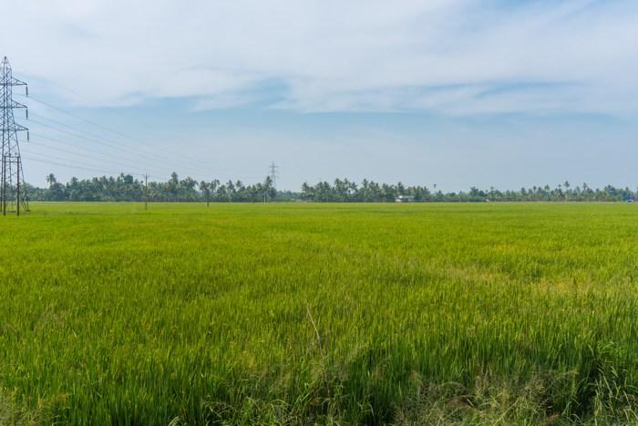 kuttanad paddy field