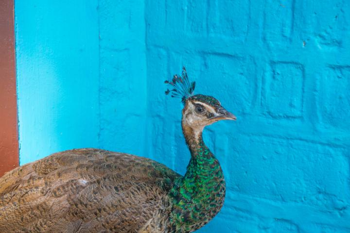 coolanur peafowl sanctuary peacock