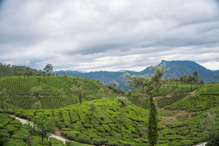 tea estate vaalapara
