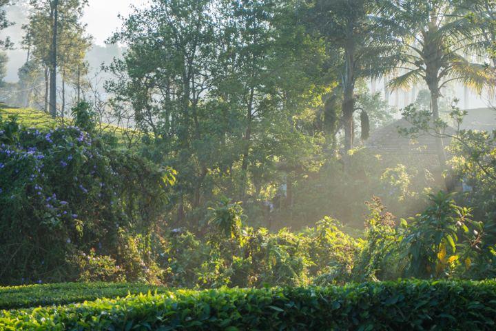 valpara tea estate morning
