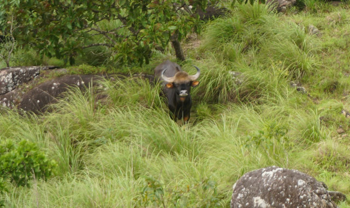 indian gaur bison