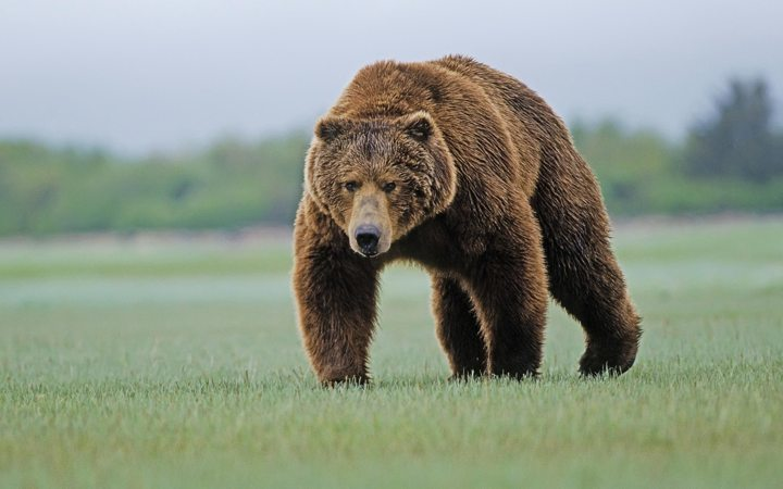 BROWN BEAR NATURE