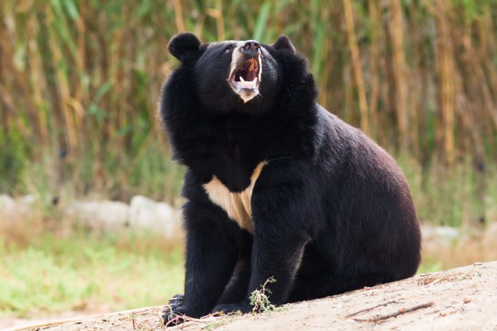 tibetan BLACK bear howling in nature